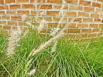 Flower grass and brick wall. In Thailand Royalty Free Stock Photo