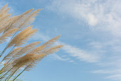 Flower grass. With cloud and blue sky Royalty Free Stock Image