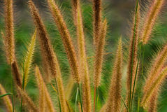 Flower grass Stock Photography