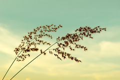 Flower Grass in evening time -  Mint green soft sky Stock Photo