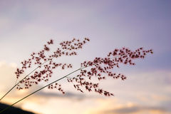 Flower Grass in evening time -  purple soft sky Stock Photography