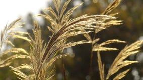 Flower grass, field sunlight and rim light stock video