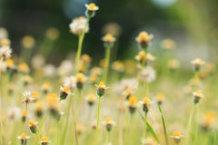 Flower Grass field. In sunny royalty free stock photos