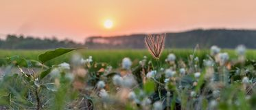 Flower/grass flower with sunset light,. Beautiful flowers by the wayside. Swollen finger grass royalty free stock photos