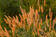 The flower of grass Golden grass. In Thailand Stock Photos