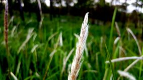 Flower of Grass. Stock Photography