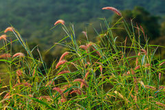 Flower grass. And impact sunlight in the morning of thailad Royalty Free Stock Images