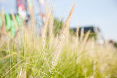 Flower of grass Royalty Free Stock Photo