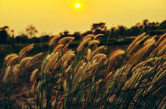 flower grass in meadow at sunset Stock Image