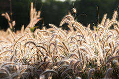 Flower of the grass. In the morning Stock Photos