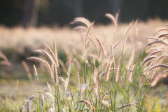 Flower of the grass. In the morning Stock Photography