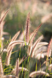 Flower of the grass. In the morning Royalty Free Stock Photography