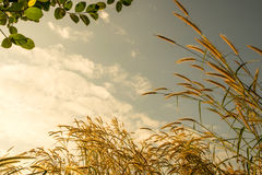 Flower grass in morning with space sky Royalty Free Stock Images
