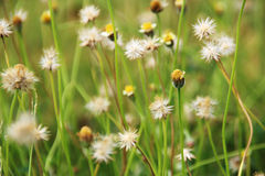 Flower grass on natural Royalty Free Stock Image