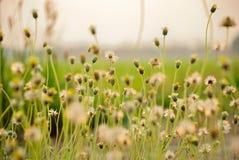 Flower grass. NThe grass on the evening Royalty Free Stock Photos
