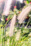 Flower grass Royalty Free Stock Image