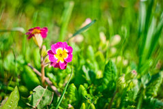 Flower in grass Royalty Free Stock Images