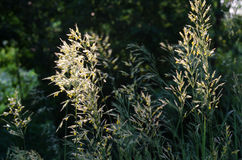 Flower  grass with pollen Royalty Free Stock Images