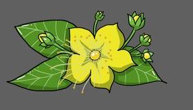 Flower, grass of san juan, illustration Stock Image