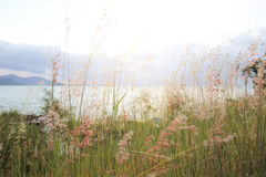 Flower grass. By the sea Stock Image