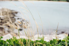 Flower grass by the sea background. Flower grass by the sea and green grass background royalty free stock photography