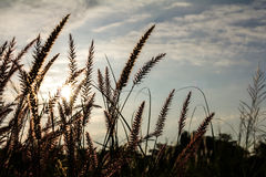 Flower grass sun rises Royalty Free Stock Image