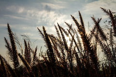Flower grass sun rises Royalty Free Stock Photos