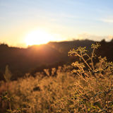 Flower grass sunset Royalty Free Stock Photos