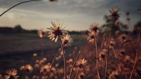 Flower. Grass flower on sunset background, vintage style Royalty Free Stock Photography