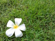 Flower on grass Royalty Free Stock Photos
