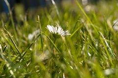 Flower in the grass Royalty Free Stock Image