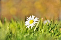 Beautiful little spring white flower and grass Stock Photography
