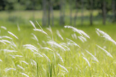 Flower grass in the wind Royalty Free Stock Photography