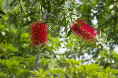 Flower of gray bottlebrush (Callistemon speciosus) Stock Photo
