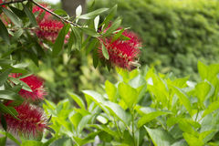 Flower of gray bottlebrush (Callistemon speciosus) Stock Images