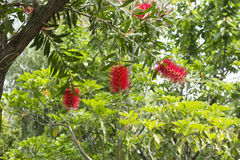 Flower of gray bottlebrush (Callistemon speciosus) Stock Image