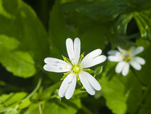 Flower Greater stitchwort, Stellaria holostea, with bokeh background, macro, selective focus, shallow DOF Royalty Free Stock Photos