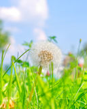 Flower in the green grass. Flower of dandelion in the green grass stock photo