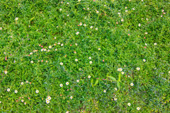 Flower on Green Grass. Lawn Stock Image