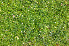 Flower on Green Grass. Lawn Royalty Free Stock Photography