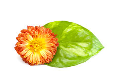 Flower with green leaf. Red-yellow flower with green leaf isolated on a white background Royalty Free Stock Photo