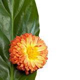 Flower with green leaf. Stock Photo