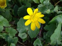 Flower with green leaf. Flower and green lefes and yellow petals Stock Photography