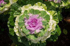 Flower of green and purple cabbage to decorate the garden Royalty Free Stock Photography