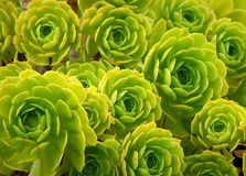 Flower - green succulent. Green suculent in flower like shapes Stock Images
