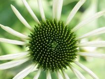Flower green / white. Flower with a stellar design Royalty Free Stock Photo