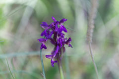 Flower of a green-winged orchid Anacamptis morio Stock Photography
