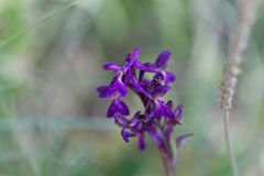 Flower of a green-winged orchid Anacamptis morio Stock Photos