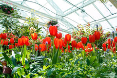 Flower in greenhouse. Tulips and plants in greenhouse Stock Photos