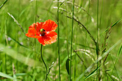 Flower grin grass Summer Papaver. Papaver is a genus of 70–100 species of frost-tolerant annuals, biennials, and perennials native to temperate and cold stock photo